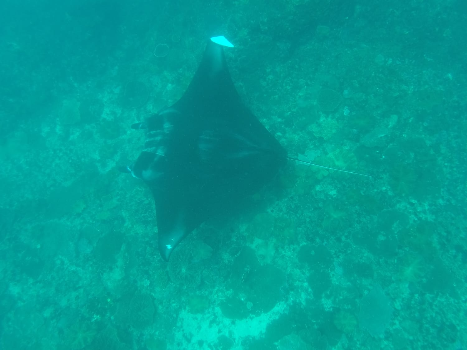 First encouter with a manta ray